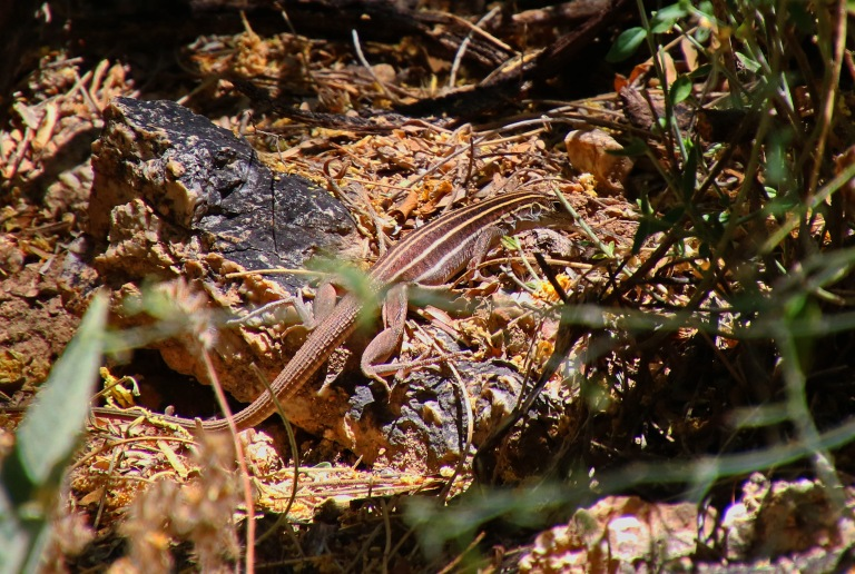 SonoranSpottedWhiptail