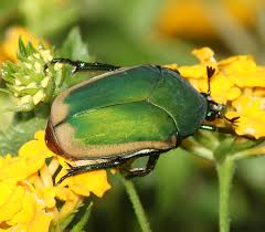 green fig beetle