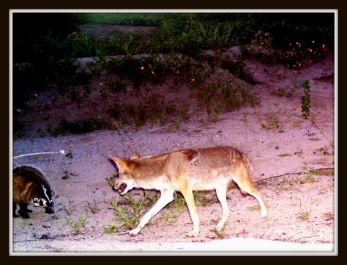 coyote badge csp