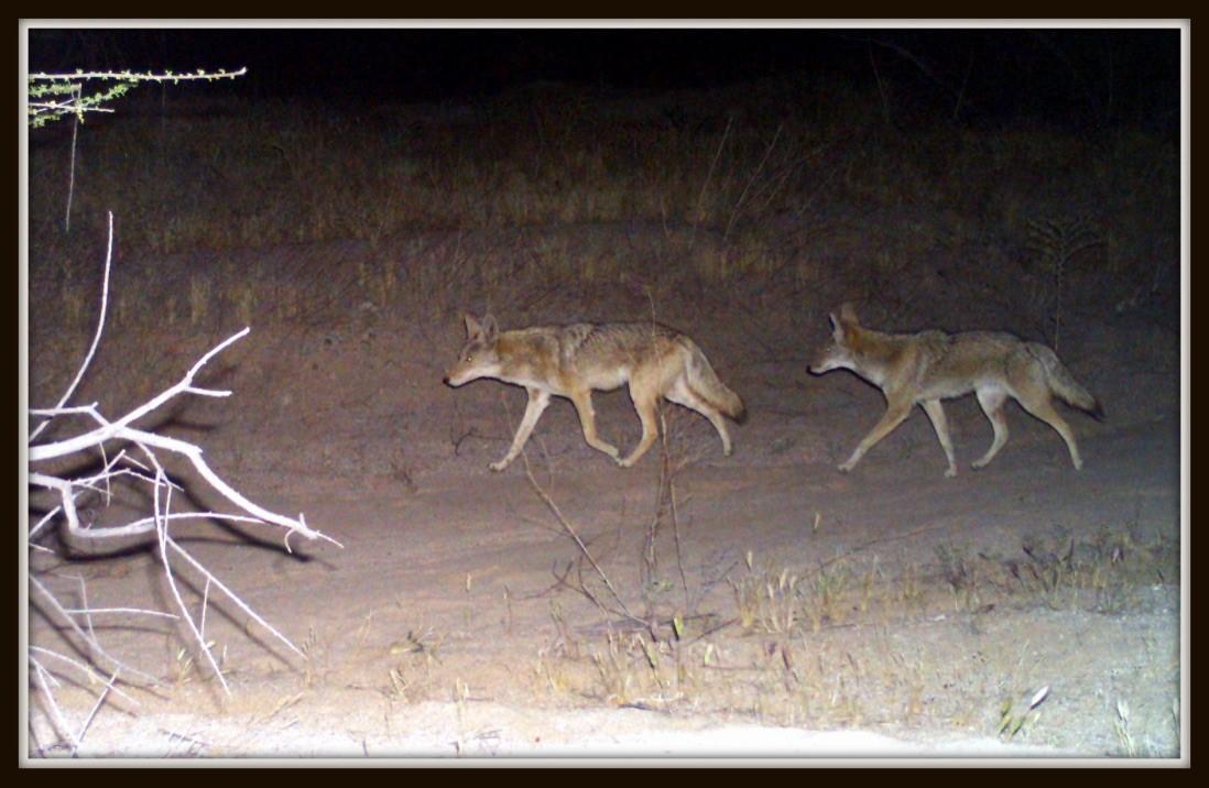 coyotes csp