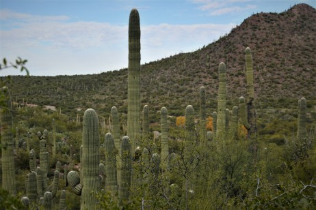 Saguaros looking East