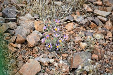 Hoary Aster